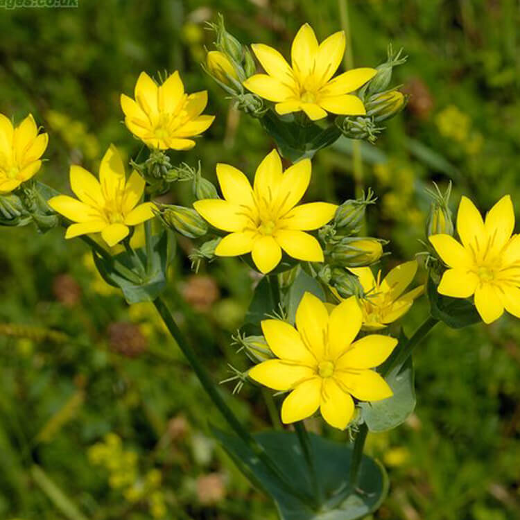 Blackstonia-perfoliata-Yellow-wort-J.-R.-Crellin-Floralimages.co.uk.jpg
