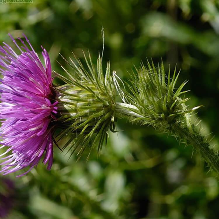 Carduus-crispus-Welted-thistle-J.-R.-Crellin-Floralimages.co.uk.jpg