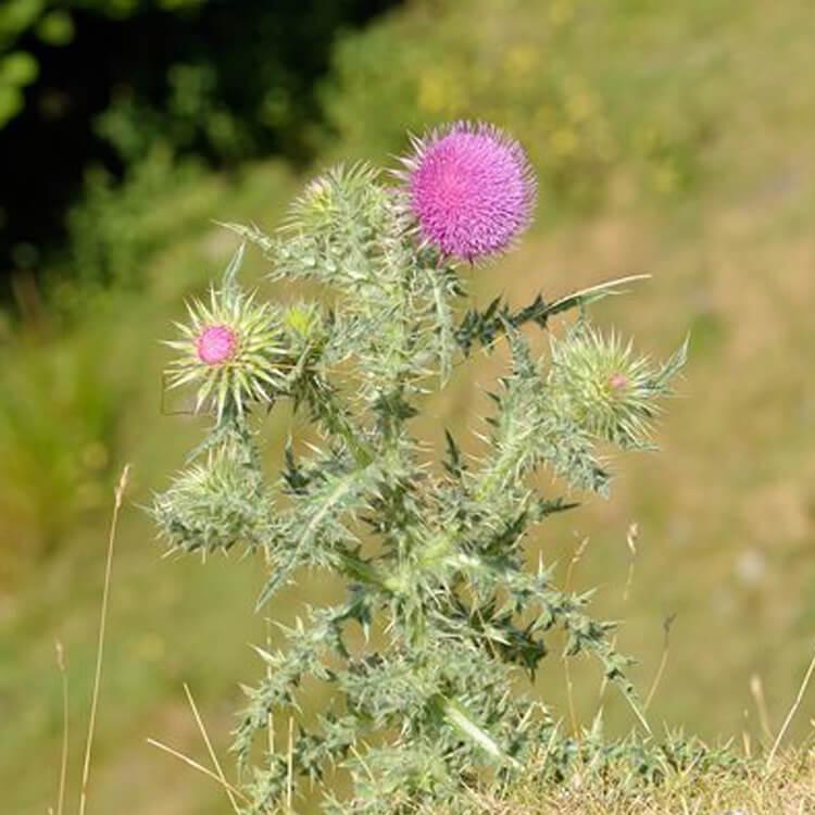 Carduus-nutans-Musk-Thistle-J.-R.-Crellin-Floralimages.co.uk.jpg