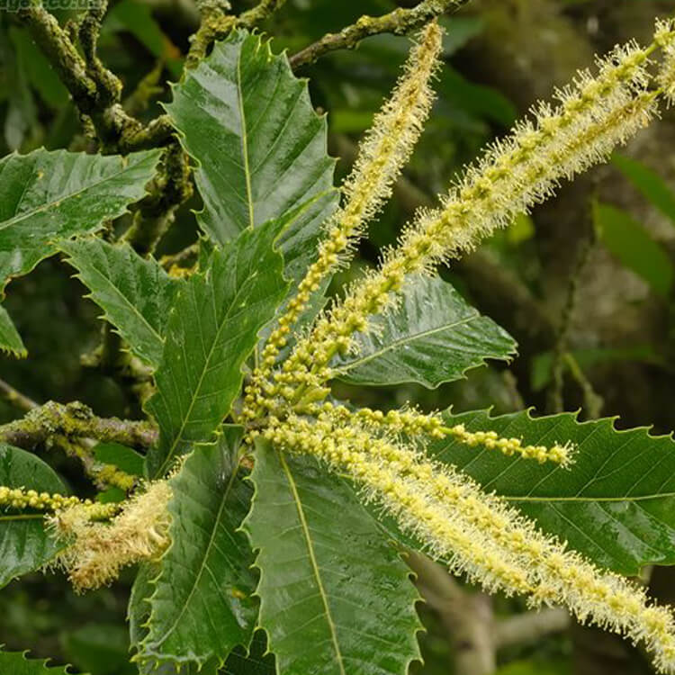 Castanea-sativa-Sweet-chestnut-J.R.Crellin-Floralimages.co.uk.jpg