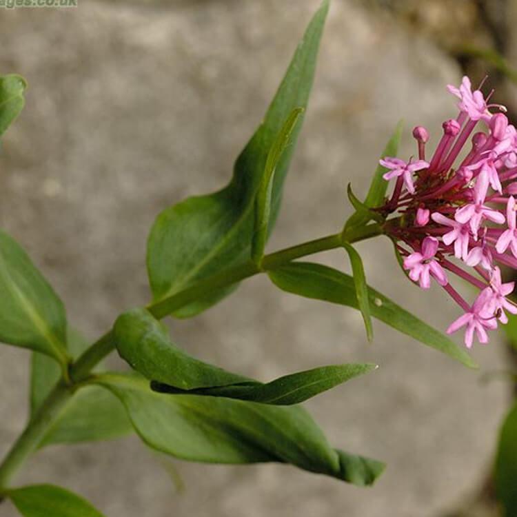 Centranthus-ruber-Red-Valerian-J.-R.-Crellin-Floralimages.co.uk.jpg
