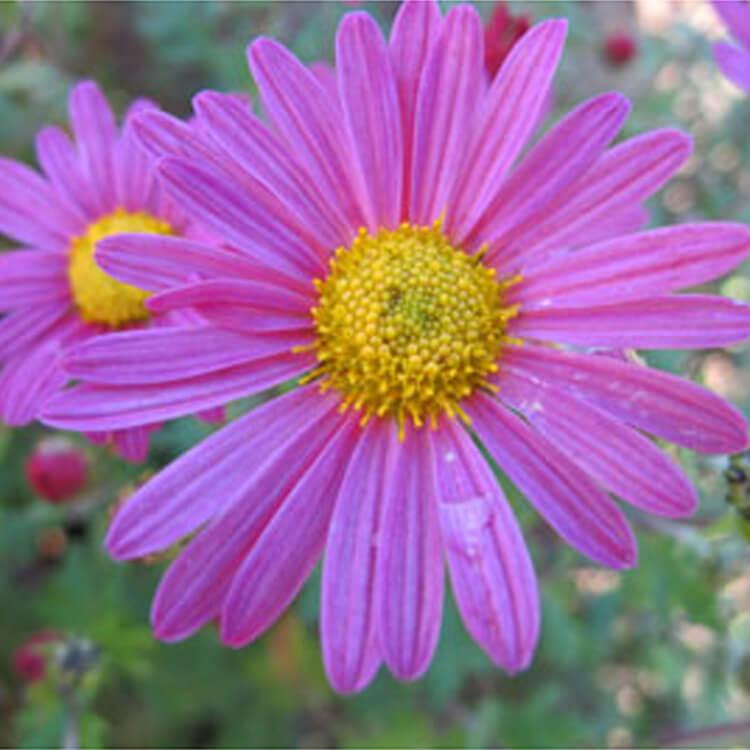 Chrysanthemum.-RHS.jpg