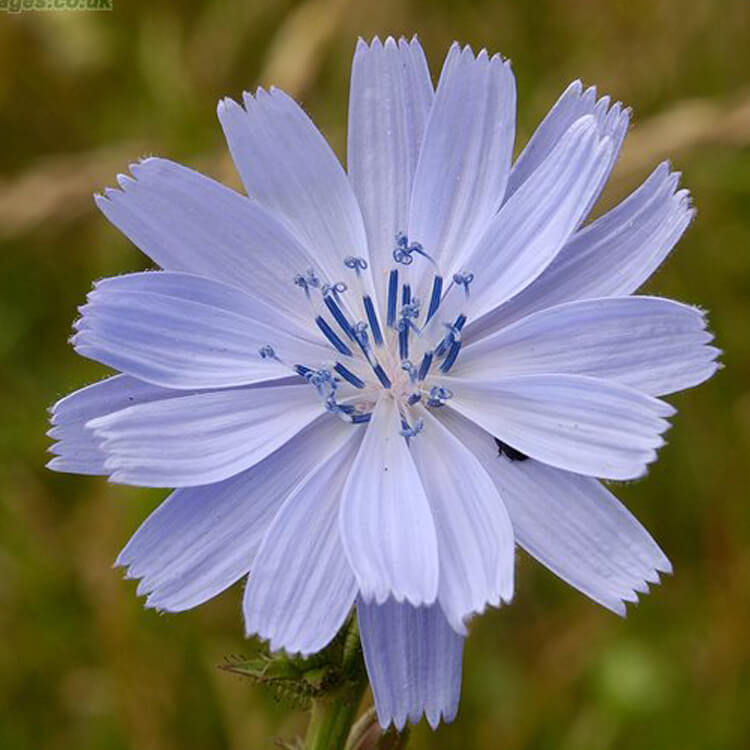 Cichorium-intybus-Chicory-J.R.Crellin-Floralimages.co.uk.jpg