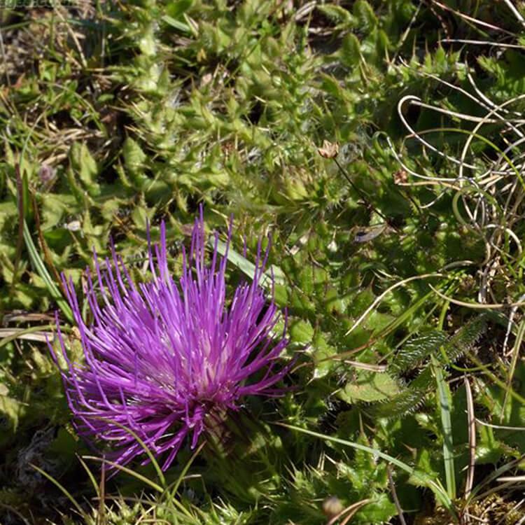 Cirsium-acaule-Dwarf-Thistle-J.-R.-Crellin-Floralimages.co.uk.jpg