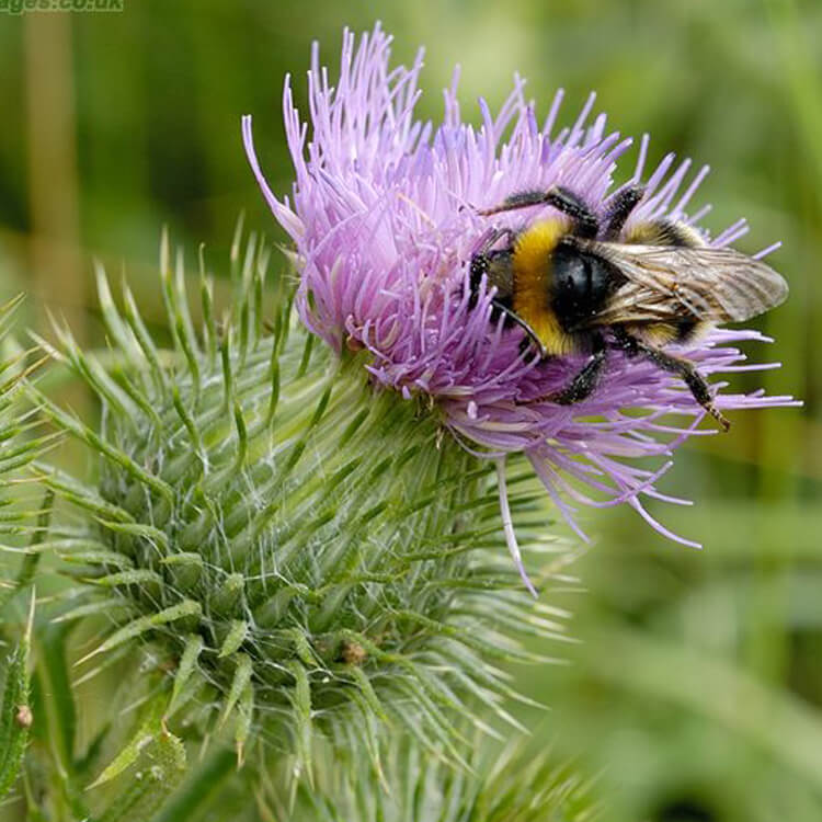 Cirsium-vulgare-Spear-Thistle-J.-R.-Crellin-Floralimages.co.uk.jpg