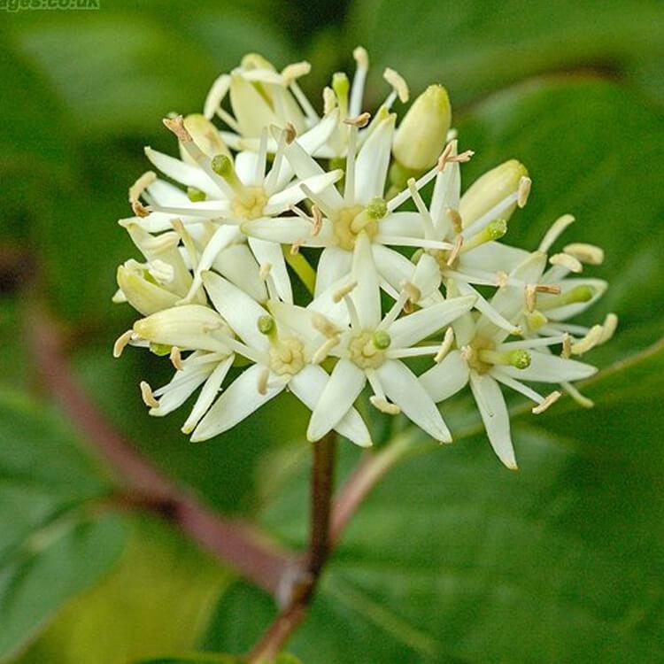 Cornus-sanguinea-Dogwood-J.-R.-Crellin-Floralimages.co.uk.jpg