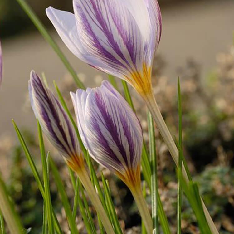 Crocus-laevigatus-Crocus-J.-R.-Crellin-Floralimages.co.uk.jpg