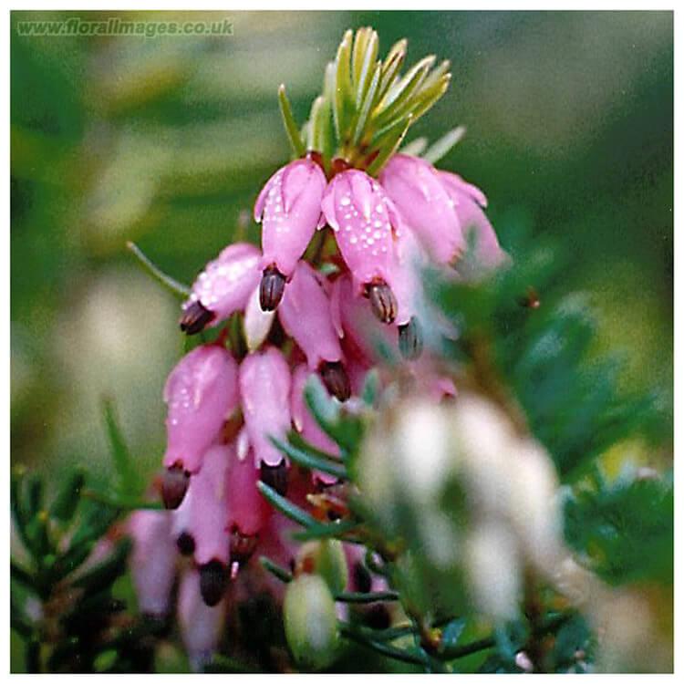 Erica-carnea-Winter-Heath-J.-R.-Crellin-Floralimages.co.uk.jpg