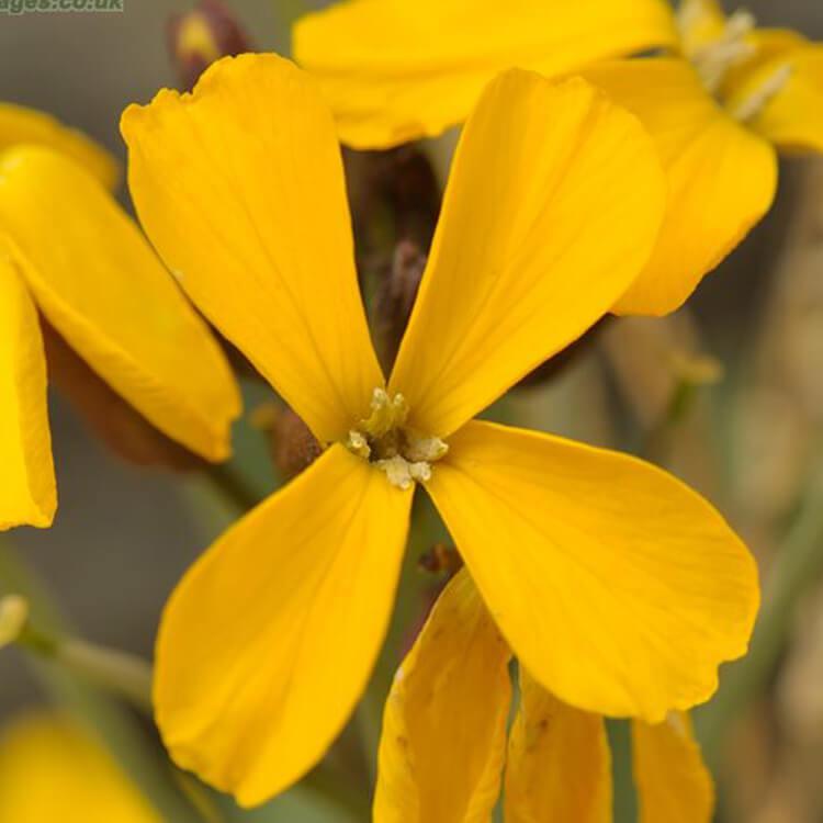 Erysimum-cheiri-Wallflower-J.-R.-Crellin-floralimages.co.uk.jpg