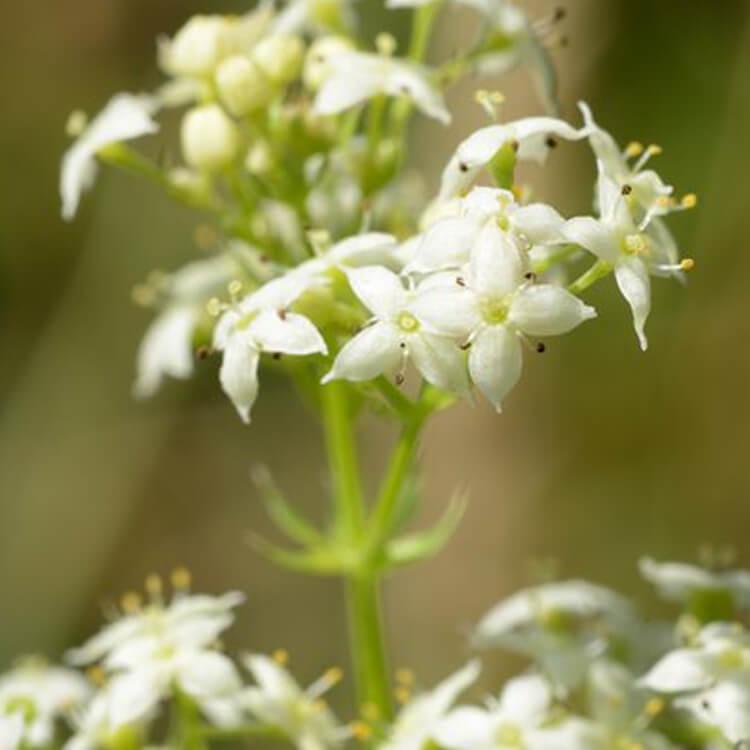 Galium-album-Hedge-Bedstraw-J.-R.-Crellin-Floralimages.co.uk.jpg