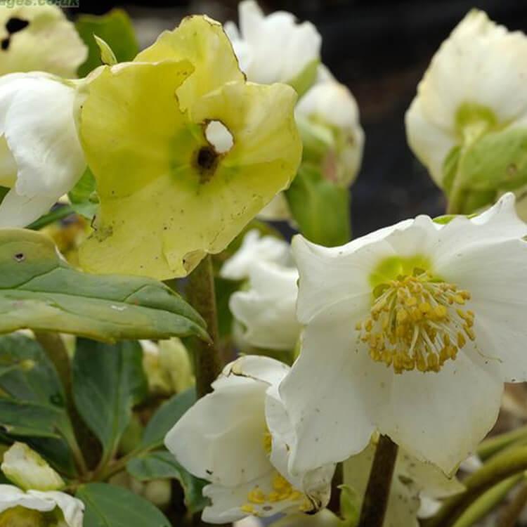Helleborus-niger-Christmas-rose-J.-R.-Crellin-floralimages.co.uk.jpg