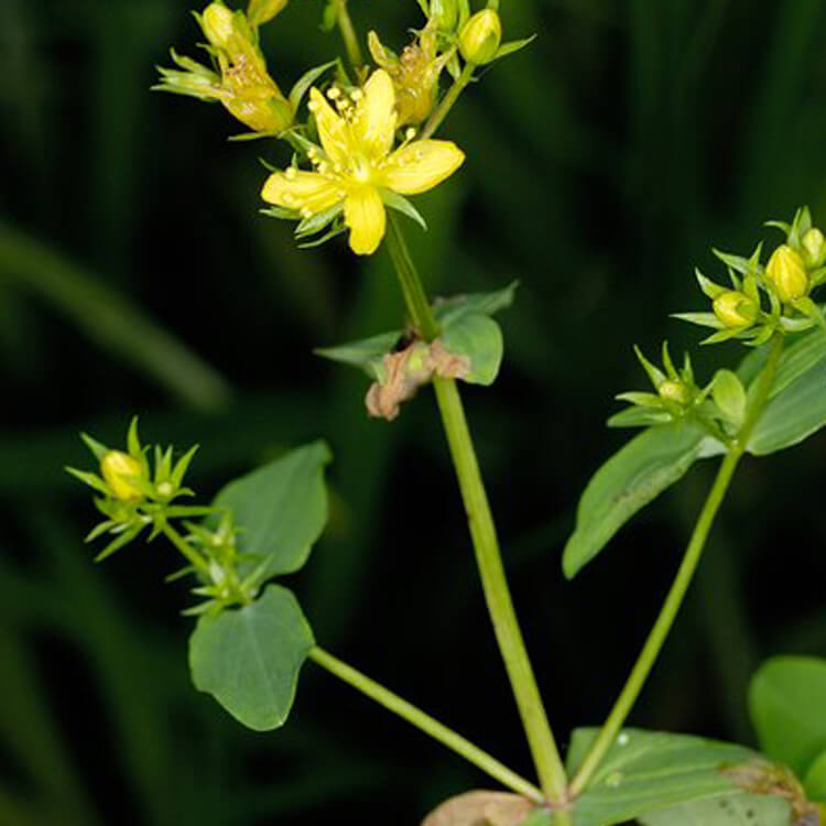 Hypericum-tetrapterum-Square-stalked-St-John_s-wort-J.-R.-Crellin-floralimages.co.uk.jpg