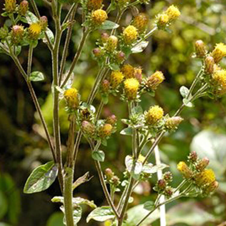 Inula-conyzae-Ploughman_s-spikenard-J.-R.-Crellin-floralimages.co.uk.jpg