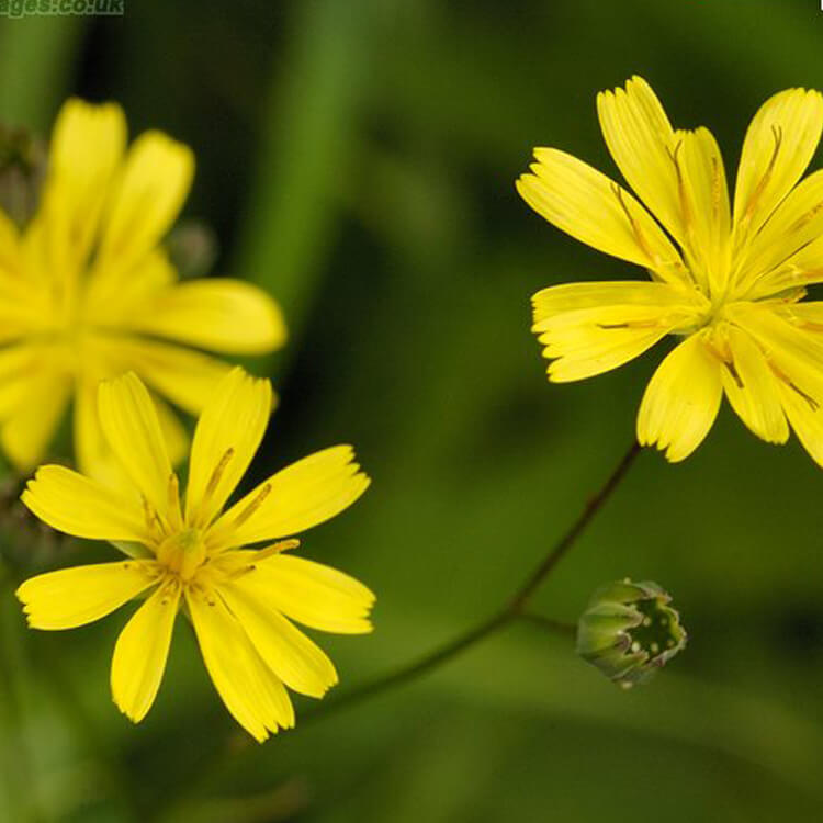 Lapsana-communis-Nipplewort-J.-R.-Crellin-floralimages.co.uk.jpg