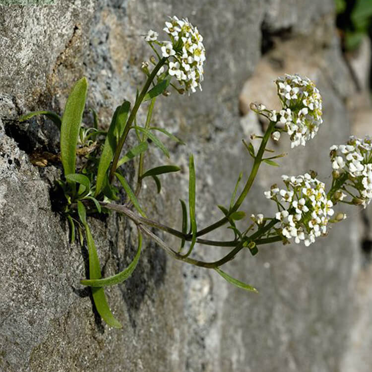 Lobularia-maritima-Sweet-Alison-J.-R.-Crellin-floralimages.co.uk.jpg