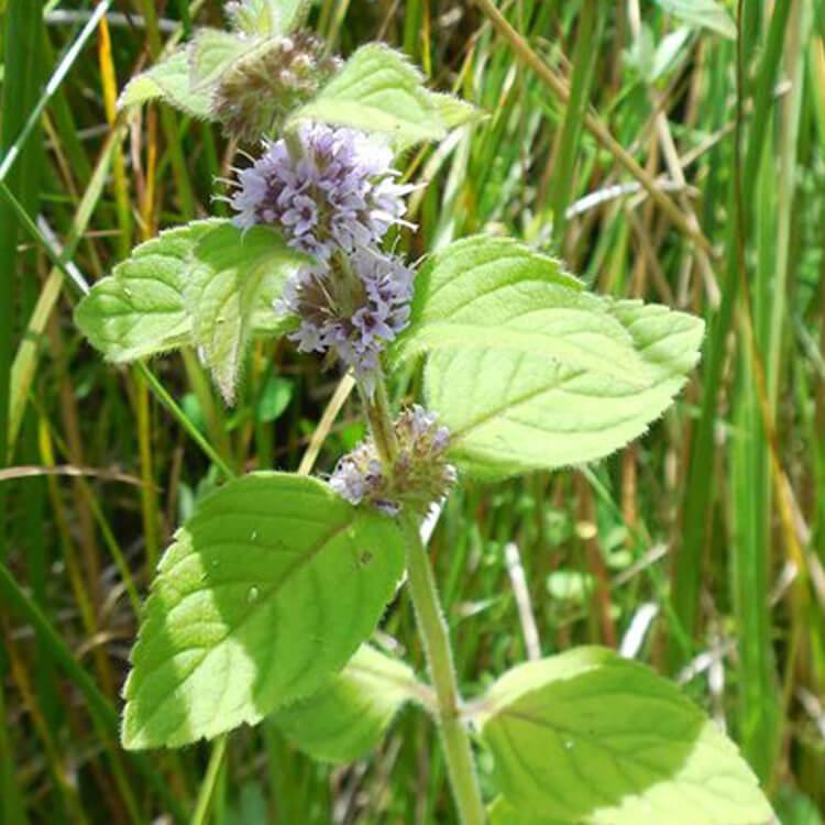 Mentha-arvensis-Corn-Mint-Sue-Goodhead-floralimages.co.uk.jpg