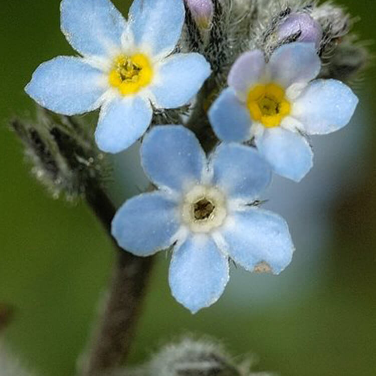 Myosotis-arvensis-Field-Forget-me-not-J.-R.-Crellin-floralimages.co.uk.jpg