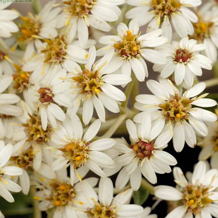 Olearia-macrodonta-New-Zealand-Holly-J.-R.Crellin-floralimages.co.uk.jpg