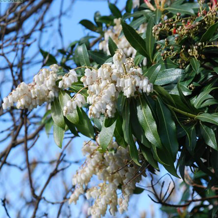Pieris-formosa-Lily-of-the-valley-bush-Stephaine-Nile-floralimages.co.uk.jpg