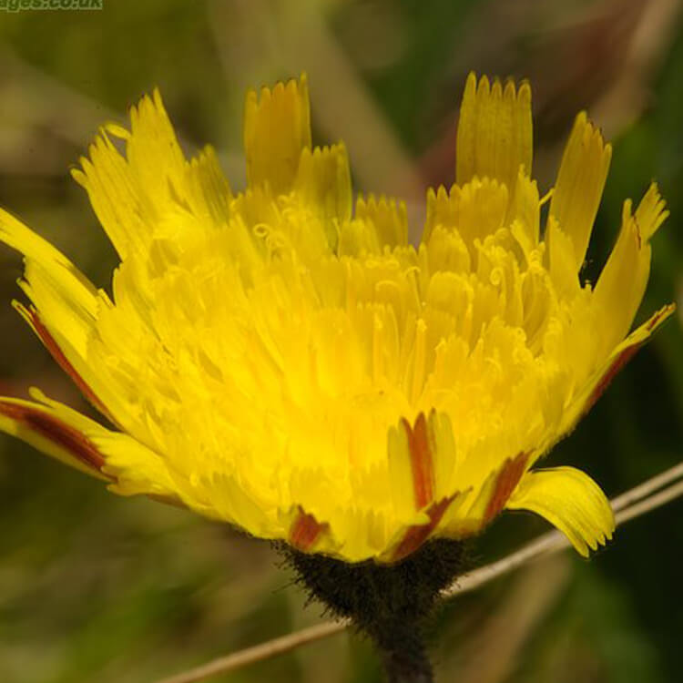 Pilosella-officinarum-Mouse-ear-Hawkweed-J.-R.-Crellin-floralimages.co.uk.jpg