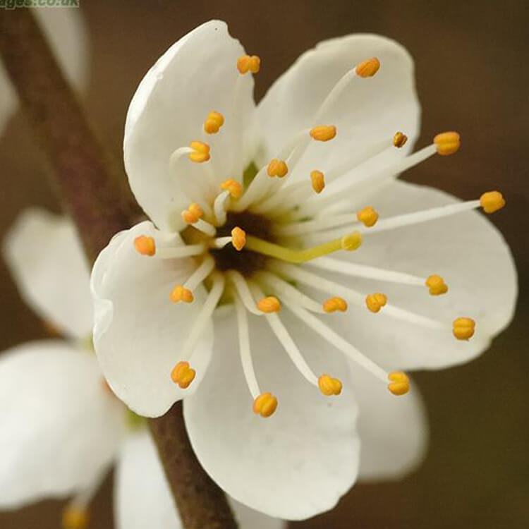 Prunus-domestica-wild-plum-J.R.Crellin-Floralimages.co.uk.jpg