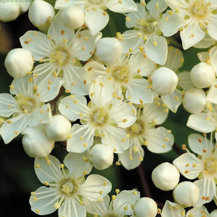 Pyracantha-coccinea-Firethorn-J.-R.-Crellin-floralimages.co.uk.jpg