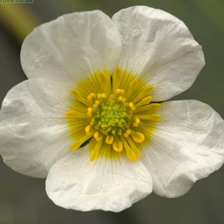 Ranunculus-fluitans-River-Water-crowfoot-J.-R.-Crellin-floralimages.co.uk.jpg