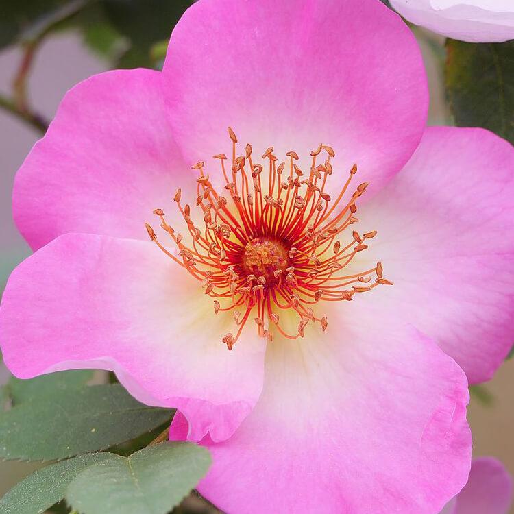 Rosa-canina.-Dog-rose.-wikkimedia-commons.jpg