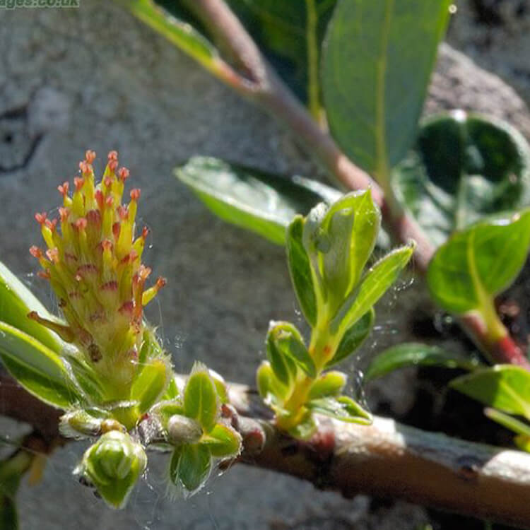 Salix-repens-Creeping-Willow-J.-R.-Crellin-floralimages.co.uk.jpg