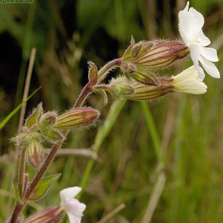 Silene-latifolia-White-Campion-J.-R.-Crellin-floralimages.co.uk.jpg