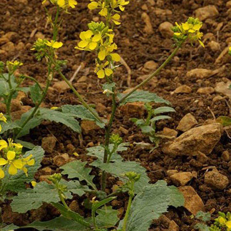 Sinapis-arvensis-Charlock-J.R.Crellin-Floralimages.co.uk.jpg