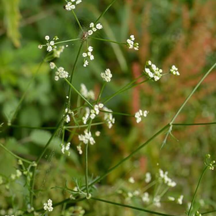 Sison-amomum-Stone-parsley-J.R.Crellin-Floralimages.co.uk.jpg