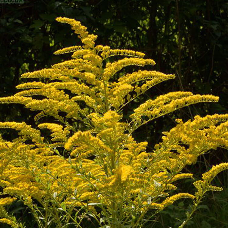 Solidago-canadensis-Canadian-goldenrod-J.R.Crellin-Floralimages.co.uk.jpg