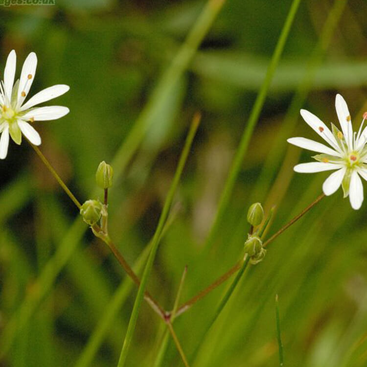 Stellaria-palustris-Marsh-stichwort-J.R.Crellin-Floralimages.co.uk.jpg