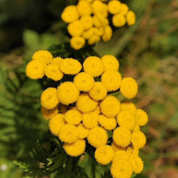 Tanacetum-vulgare-Tansy-J.R.Crellin-Floralimages.co.uk.jpg
