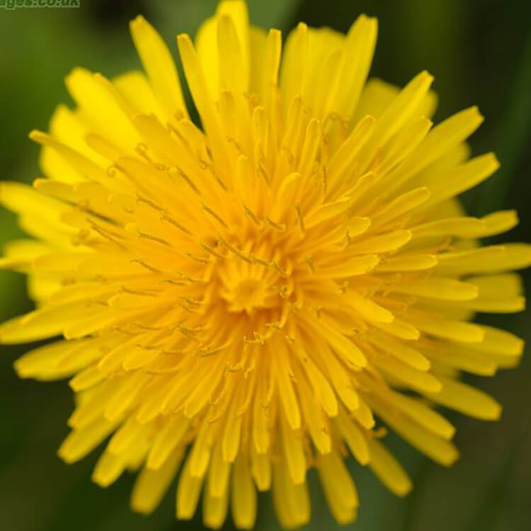 Taraxacum-agg-J.R.Crellin-Floralimages.co.uk.jpg
