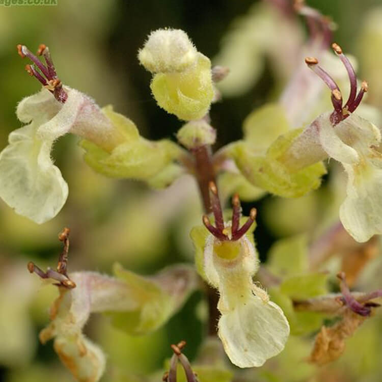 Teucrium-scorodonia-Wood-sage-J.R.Crellin-Floralimages.co.uk.jpg