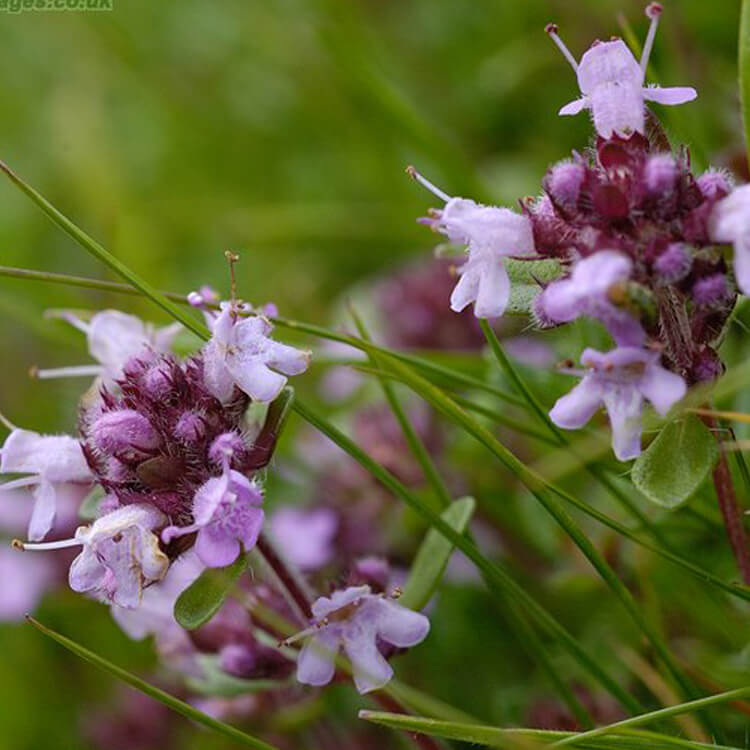 Thymus-pulegioides-Large-thyme-J.R.Crellin-Floralimages.co.uk.jpg
