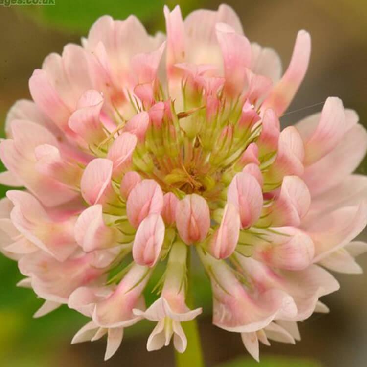 Trifolium-hybridum-Alsike-clover-J.R.Crellin-Floralimages.co.uk.jpg
