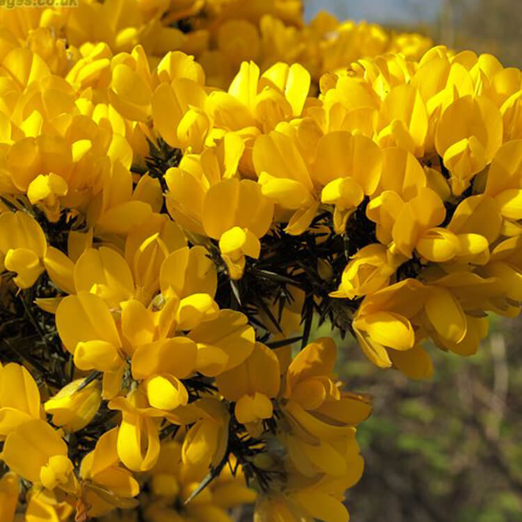 Ulex-europaeus-Gorse-J.R.Crellin-Floralimages.co.uk.jpg