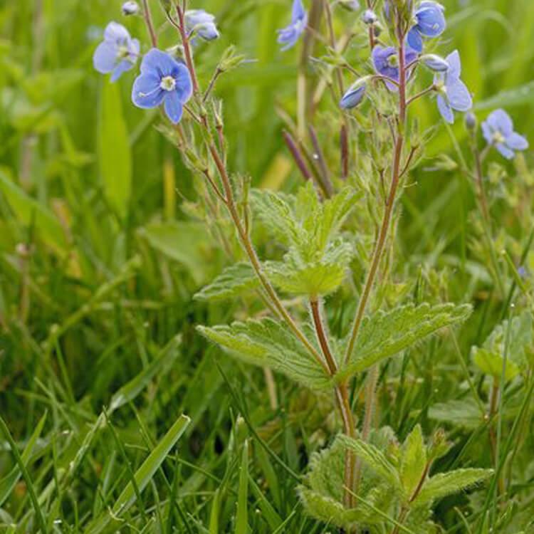 Veronica-chamaedrys-Germander-speedwell-J.R.Crellin-Floralimages.co.uk.jpg
