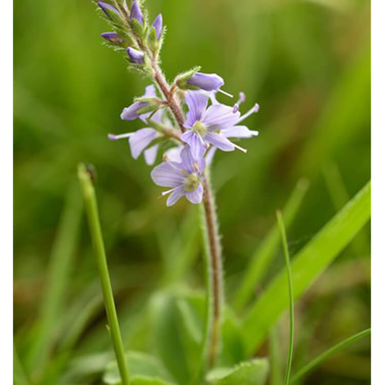 Veronica-officinalis-Heath-speedwell-J.R.Crellin-Floralimages.co.uk.jpg