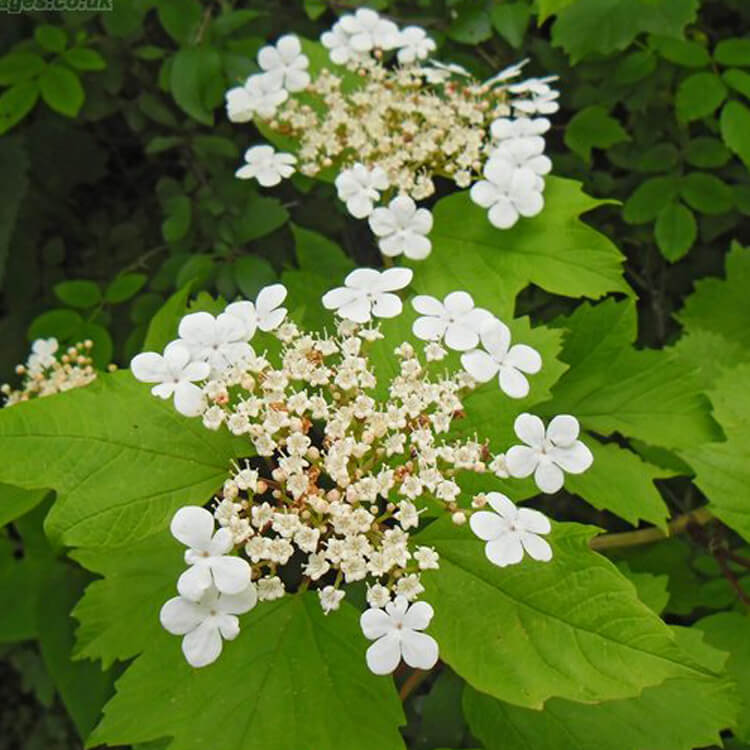 Viburnum-opulus-Guelder-rose-J.R.Crellin-Floralimages.co.uk.jpg